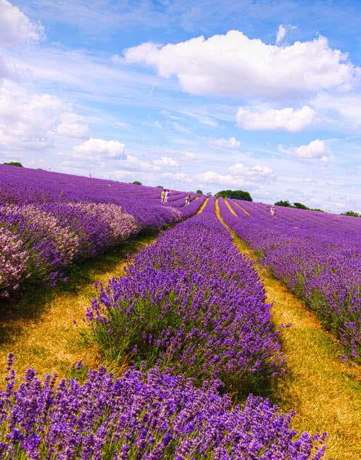 Lavender-Fields, London