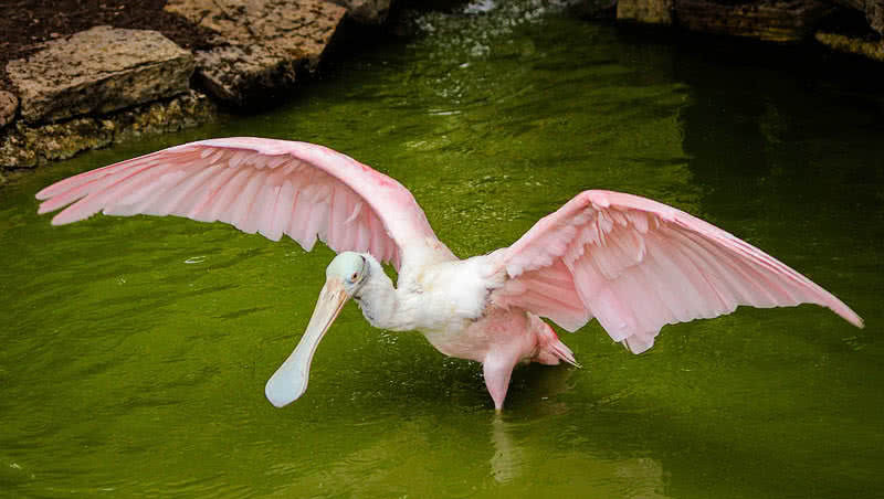 roseeat spoonbill