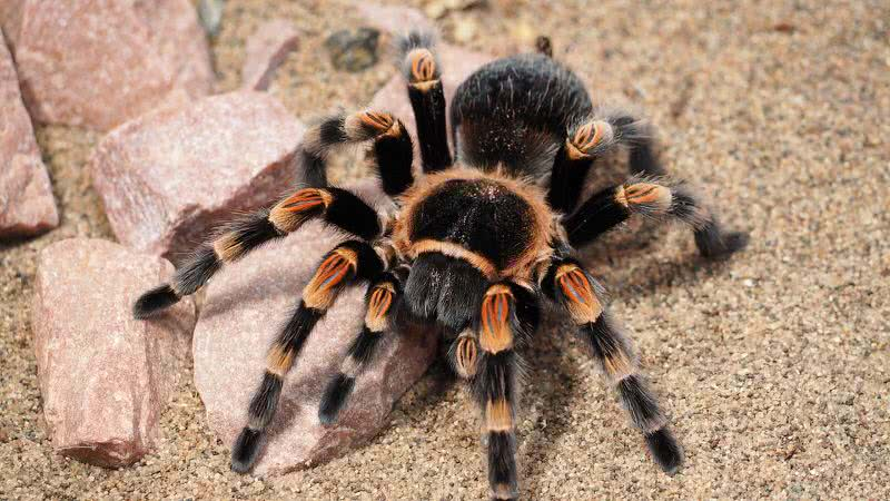 tarantual spider