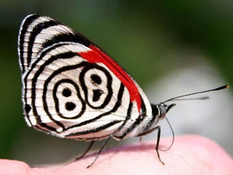 Eightyeight butterfly