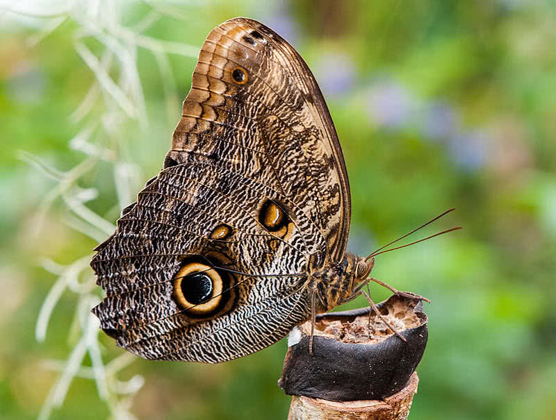 forest giant owl butterfly