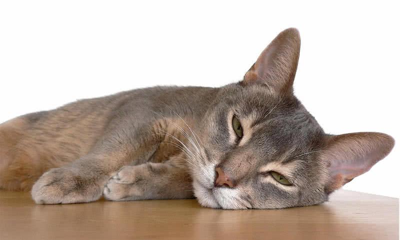 abyssian cat