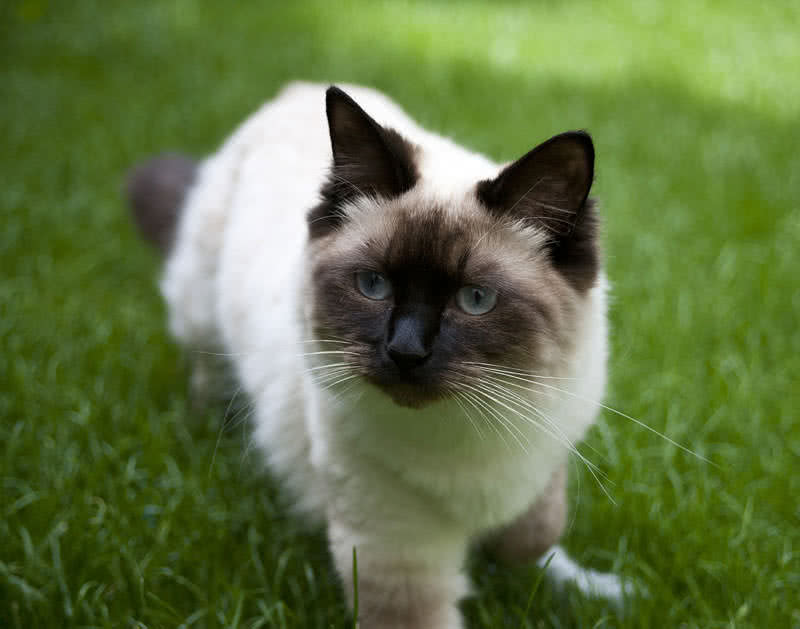Top 10 Most Beautiful Cat Breeds In The World The