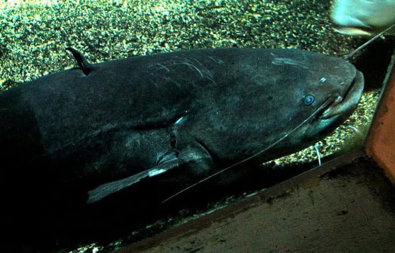 welscatfish
