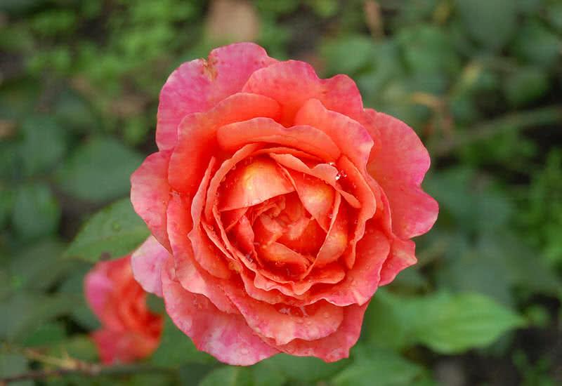 albrechat durer rose