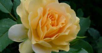 Insanely Fragrant Roses In The World