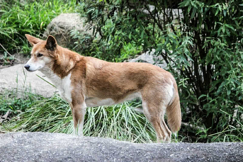 Top 9 amazing australian animals the mysterious world dingo sciox Gallery
