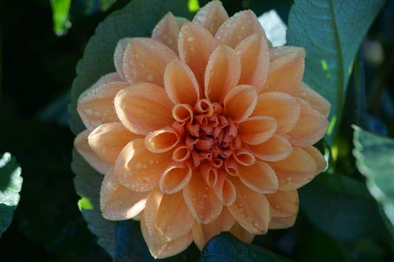 Is Always Been So Special Among Flower Lover The Reason Its Great Variety In Size And Color There Are 42 Different Species Of Dahlias World
