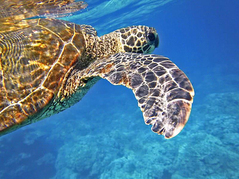 لاک پشت دریایی سبز