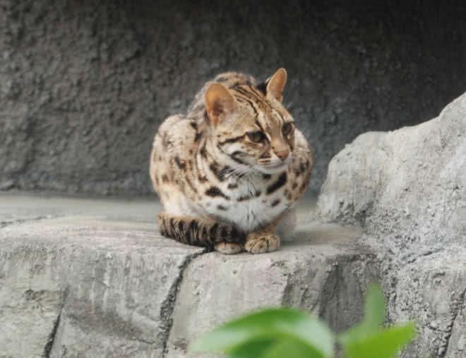 گربه لئوپارد